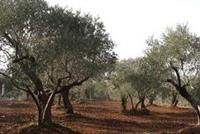 1163 M2 Land Of Olive For Sale In AMIOUN, El Koura (zoning: 5 %) - Price/m2: $50