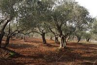 Ref #768 - 1163 M2 Land Of Olive For Sale In AMIOUN, El Koura (zoning: 5 %) - Price/m2: $50